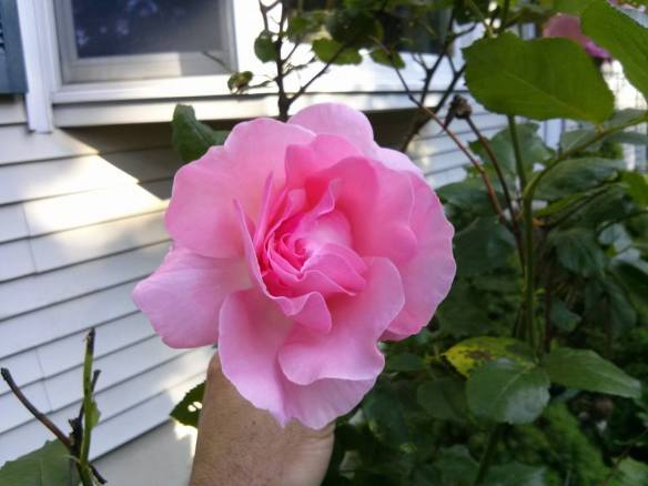 First Rose of the Year!