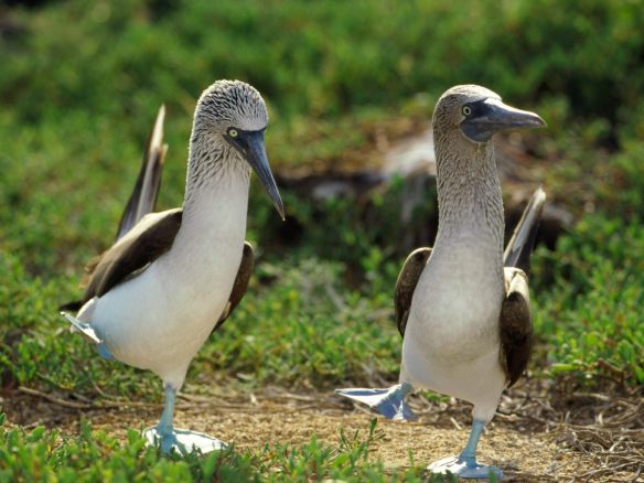 img-blue_footed_boobies