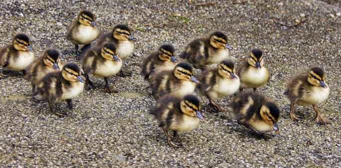 animals beak close up ducklings