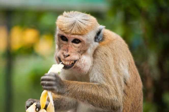 animal ape banana cute