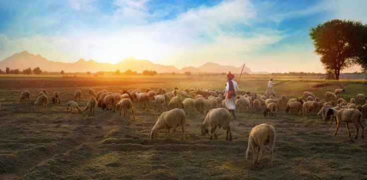 white sheep on farm